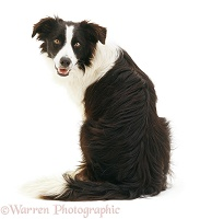Border Collie dog looking over his shoulder