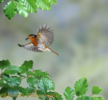Robin flying to nest