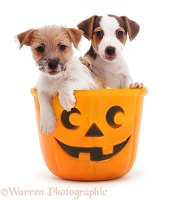 Jack Russell pups in a Halloween bucket