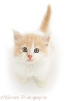 Ginger-and-white kitten looking up