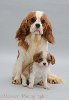 Cavalier King Charles Spaniel with pup