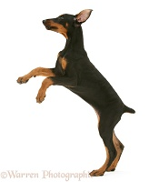 Doberman pup standing up on hind legs