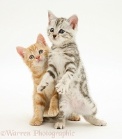 Ginger and silver tabby kittens