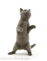 Grey kitten standing up