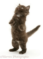 Chocolate kitten standing on hind legs