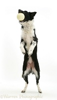 Border Collie standing on hind legs