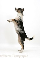 Collie-cross on hind legs