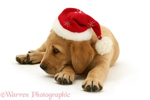 Yellow Labrador Retriever pup in a Santa hat