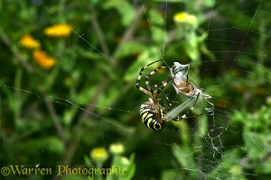 Orb-web Spider
