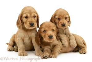 Three Golden Cocker Spaniel pups