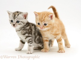 Silver and red kittens