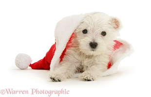 Westie pup in Santa hat