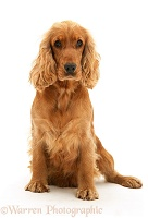 Golden Cocker Spaniel sitting