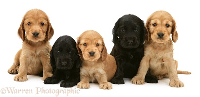 Black and Golden Cocker Spaniel pups