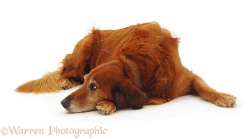 Elderly Red Setter-cross dog
