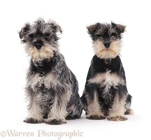 Two Miniature Schnauzer pups