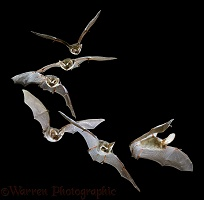Long-eared Bat flight sequence