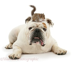 Bulldog and Squirrel