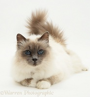 Fluffy Birman cat