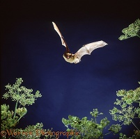 Serotine Bat in flight
