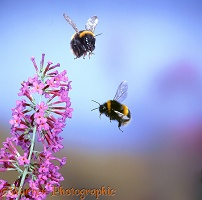 Common White-tailed Bumblebees in flight
