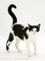 Black-and-white cat walking