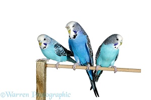 Budgerigar group