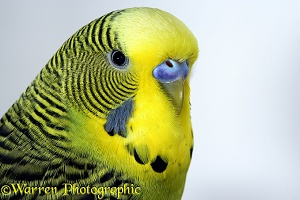 Yellow Budgerigar