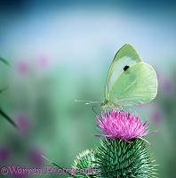 Large White on a thistle flower