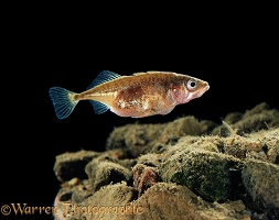 Tree-spined Stickleback