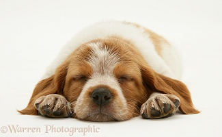 Sleeping Brittany Spaniel pup