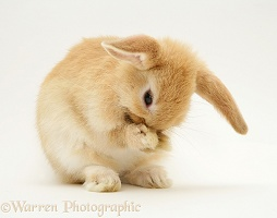 Baby Sandy Lop rabbit washing its paws