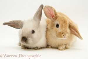 Baby Colourpoint and Sandy Lop rabbits