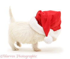 Westie pup with Santa hat