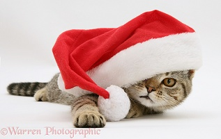 Tabby cat in Santa hat