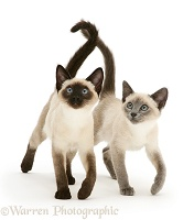 Seal- and blue-point Siamese kitten sisters