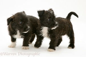 Two Westie x Jack Russell pups