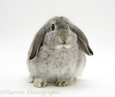 Silver Lop rabbit