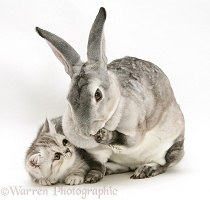 Silver exotic kitten with silver rabbit