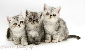 Three silver Exotic kittens, 9 weeks old