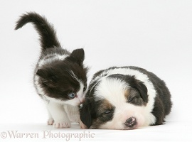 Black-and-white kitten and tricolour Border Collie pup
