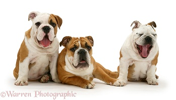 Three Bulldog pups