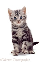 British Shorthair silver tabby kitten