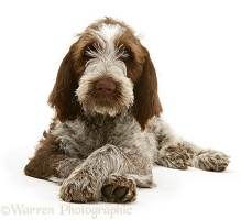 Brown Roan Spinone pup