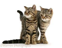 Two British Shorthair tabby kittens