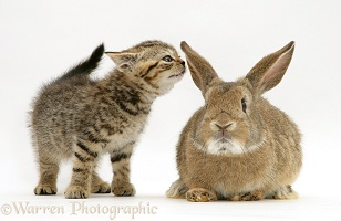 Kitten and rabbit
