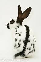 Old English Spotted rabbit