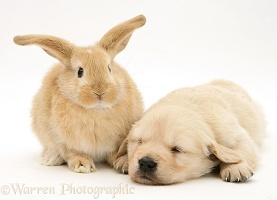 Baby sandy Lop rabbit with Golden Retriever pup asleep