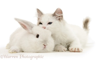 Colour-point lop rabbit baby with Lilac Ragdoll kitten