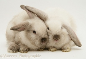 Colourpoint baby Lop rabbits